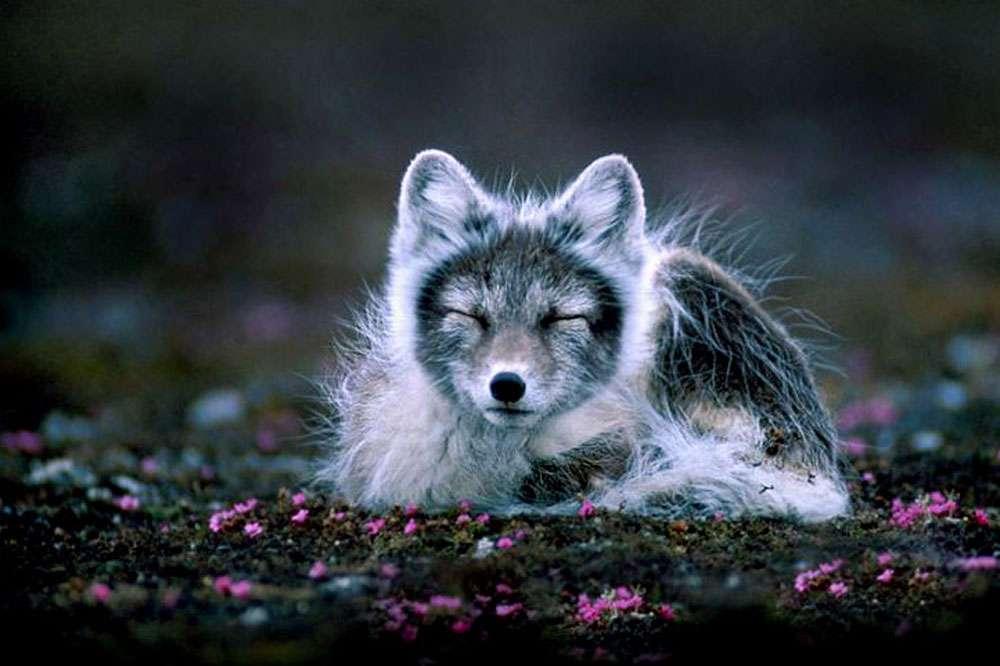 Comme la chouette harfang, ce renard polaire, en train de perdre sa dernière toison d'hiver, chasse volontiers le lemming. © Per Harald Olsen, CC by-sa 3.0