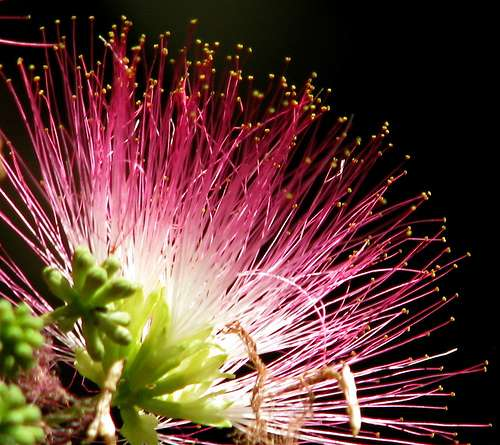 Albizia julibrissin. © audreyjm529, Flickr CC by 2.0