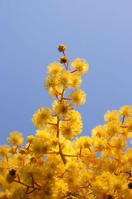 Le mimosa, arbuste de la famille des mimosacées. © Paul Appleton, nc sa 2.0