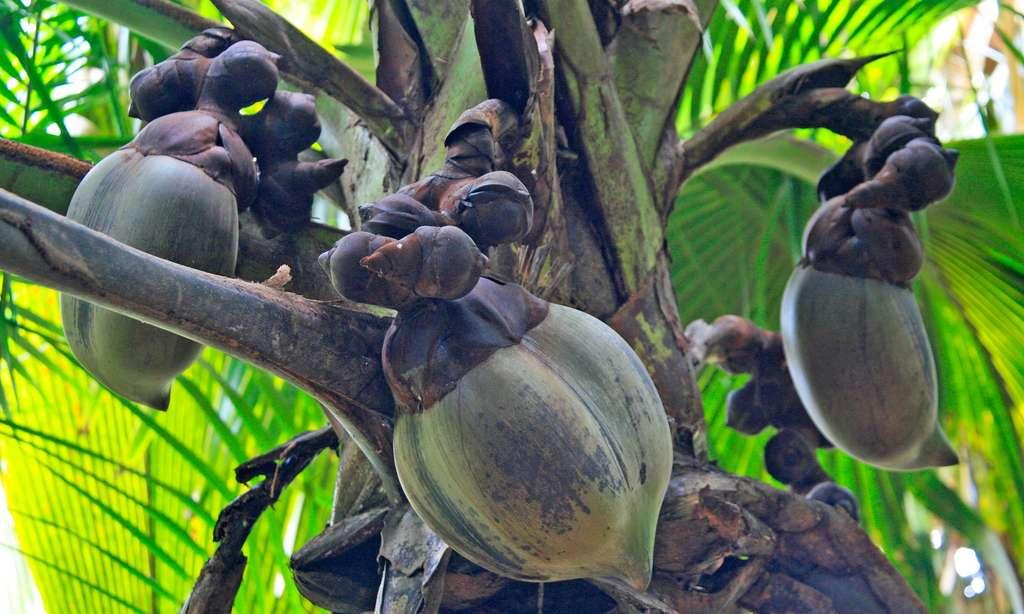 Le coco-fesse, fruit du cocotier de mer