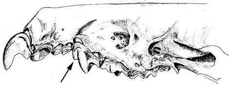 Crocidura leucodon (crâne). © Toute reproduction et utilisation interdites