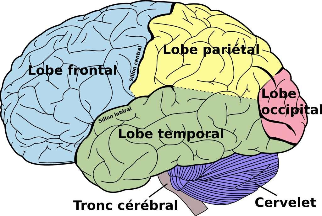 Schéma du cerveau avec, notamment, le lobe frontal. © Mysid, Wikipédia, DP