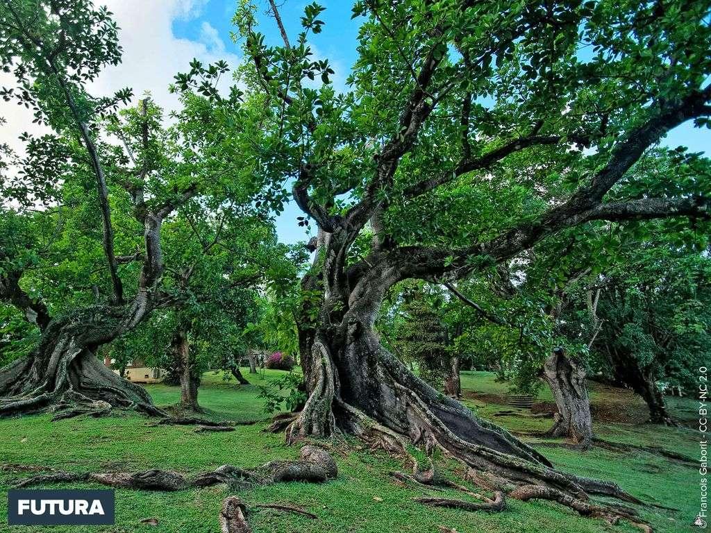 Arbre centenaire Parc rhumerie Martinique
