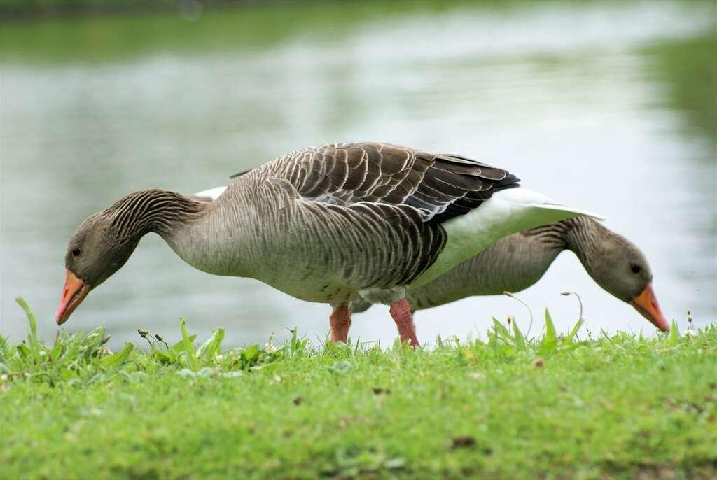 Oies des moissons pâturant. Ces oiseaux sont exclusivement végétariens. © Olga e Zanni, Flickr, cc by nc nd 2.0