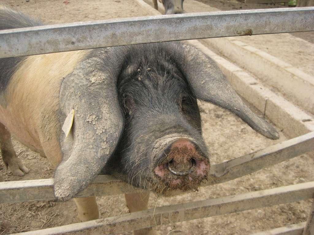 En 2008, 36,9 % de la viande produite dans le monde était d'origine porcine. © Mister F., Flickr, CC by-nc-nd 2.0