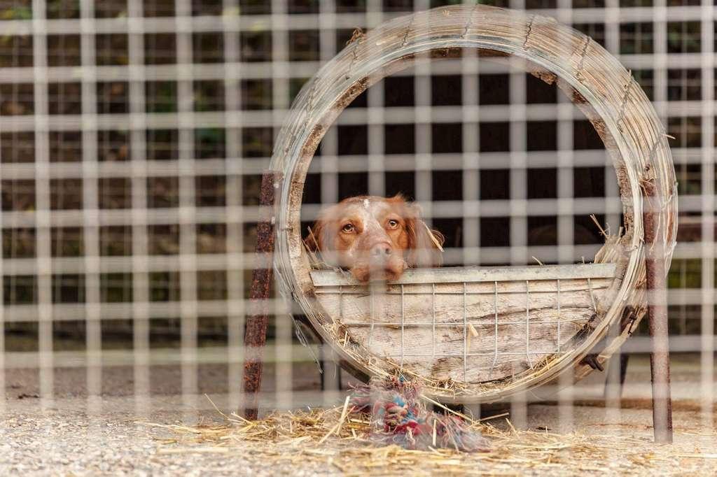Avec quelque 100.000 animaux abandonnés chaque année – chiffre SPA, juin 2019 —, la France détient le triste record mondial d'abandons en Europe. La Journée mondiale du chien a aussi pour objectif d'améliorer les conditions de vie des chiens dans le monde. Alors, si vous souhaitez adopter un chien, rendez-vous de préférence dans un refuge où vous trouverez sans doute celui dont vous pourrez (re)faire le bonheur. Ici, Nanouck, croisé épagneul breton né en janvier 2017 et pensionnaire du refuge des Clochards poilus (Tabanac - 33) depuis trop longtemps déjà. © Stefan'Eye Photographie. Tous droits réservés