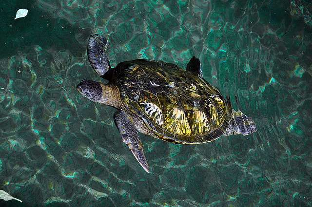 Une tortue verte à la Réunion, espèce menacée. © Another Guy 974, Flickr, cc by nc sa 2.0