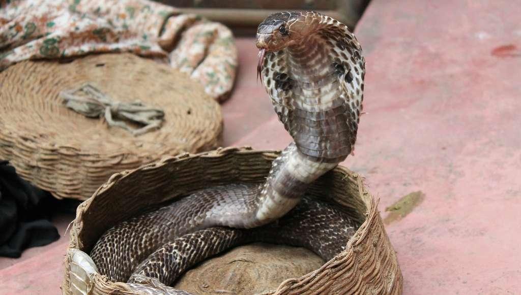 Lorsqu'il se sent menacé, le cobra gonfle son cou et étend sa coiffe afin d'impressionner son adversaire. © musthaqsms, Pixabay, CC0 Public Domain