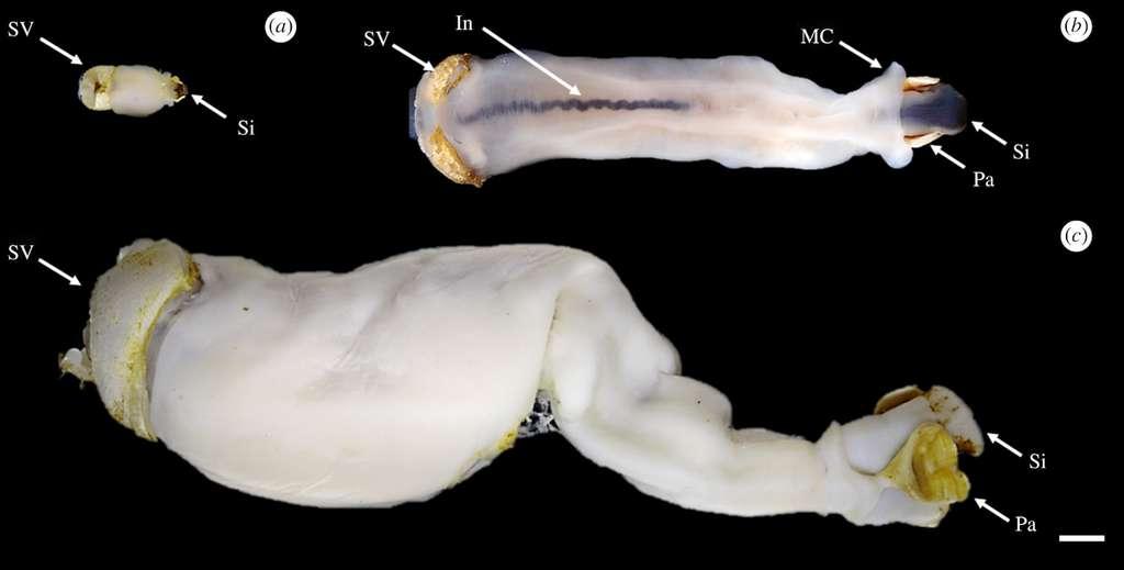 Quelques exemples de Lithoredo abatanica : a) un spécimen juvénile, b) un petit adulte et c) un grand adulte. La barre d'échelle mesure cinq millimètres. L'indication In point l'intestin, MC, le collier de manteau, Pa, la palette, Si, le siphon et SV, la soupape à coquille. © Royal Society
