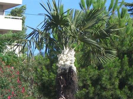 Un palmier traité à la glu, appliquée à l'endroit où l'insecte attaque, en haut du tronc, sous les feuilles. © Marc Tauzin