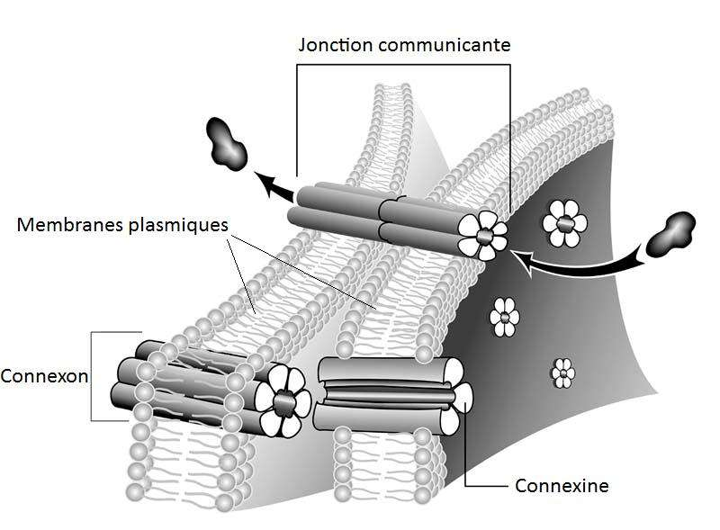 Les jonctions communicantes sont des structures permettant le passage de molécules ou de signaux électriques entre deux cellules. Insérées dans les deux membranes plasmiques adjacentes, ces jonctions sont constituées de deux connexons, eux-mêmes formés de 6 connexines. Crédit DR