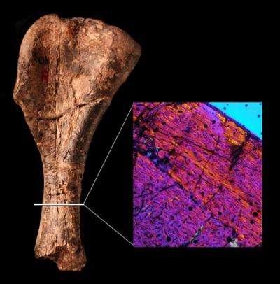 Ce bout d'humérus d'environ 15 cm de haut appartenait à un Nyasasaurus parringtoni ayant vécu voilà 243 millions d'années. L'encart montre une coupe réalisée au travers de cet os. Les couleurs renseignent sur l'orientation des fibres osseuses. Leur désorganisation était fréquemment rencontrée chez les premiers dinosaures. © Natural History Museum