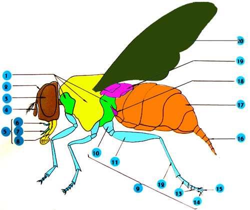 Morphologie latéral 01: 3 segments du thorax - 02 : tête - 03 : œil composé - 04 : antenne - 05 : pièces buccales - 06 : palpe - 07 : lèvre supérieure - 08 : lèvre inférieure - 09 : patte - 10 : trochanter - 11 : fémur - 12 : tibia - 13 : tarses - 14 : griffe - 15 : pelote adhésive - 16 : tube de ponte - 17 : abdomen - 18 : balancier - 19 : cuilleron - 20 : aile membraneuse Reproduction et utilisation interdites