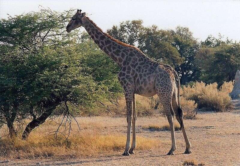 La savane broussailleuse et arborée constitue l'habitat type de la girafe. © JackyR, Wikipédia, GNU 1.2