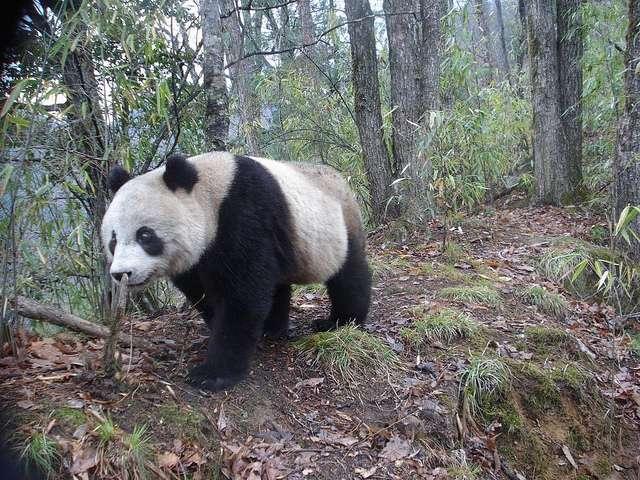 Un panda géant (Ailuropoda melanoleuca) en liberté dans une forêt en Chine. © Siwild, Flickr, cc by nc sa 2.0