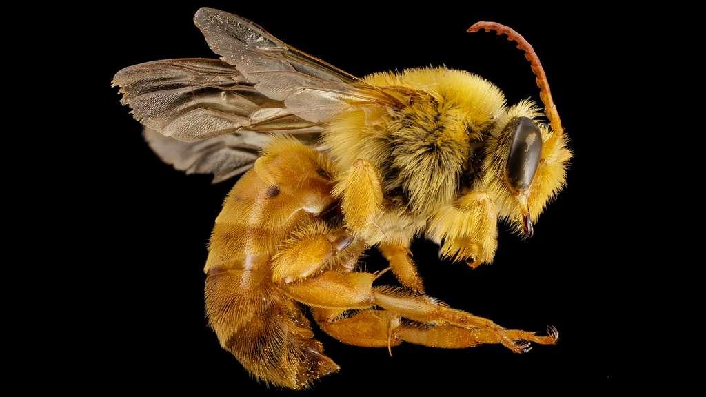 Mydrosoma serratum, une abeille du Mexique