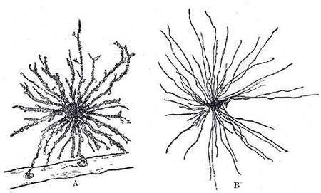 Cellules gliales. Crédit : Commons