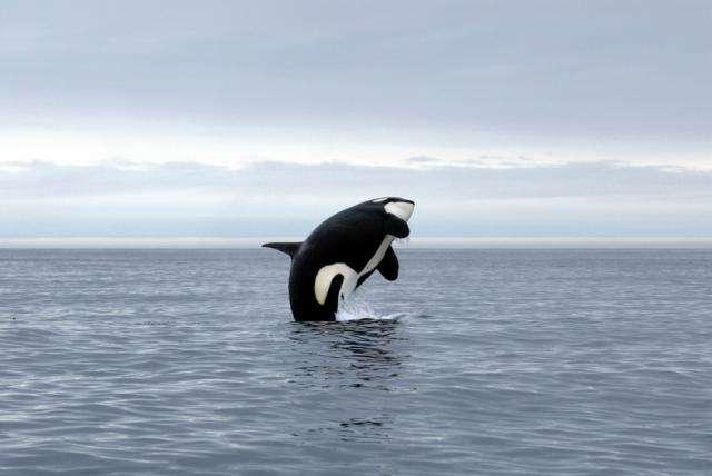 Sous son apparence majestueuse, l'orque cache une personnalité de tueuse. © DR