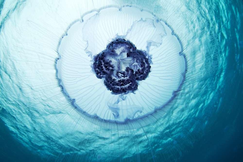 Une méduse lune lumineuse : Aurelia aurita