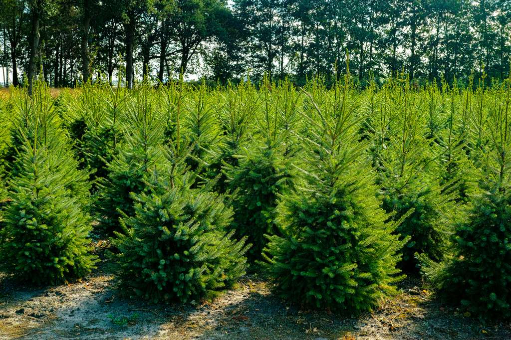 Privilégiez un sapin cultiver en France pour réduire son empreinte carbone. © barmalini - Fotolia