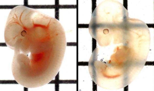 Un embryon de souris rendu transparent (à droite) grâce à la solution SeeDB. © Institut Riken