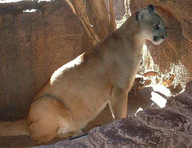 Puma de l'Arizona. © Stephen Lea, GNU Free Documentation License, version 1.2