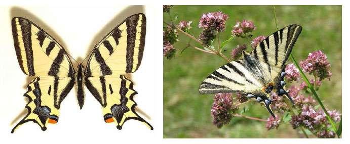 À gauche : l'Alexanor, Papilio alexanor Esper, 1800 (Papilionidé). © Sarefo - Licence de documentation libre GNU, version 1.2 À droite : le Flambé, Iphiclides podalirius (L., 1758) (Papilionidé). © Ymaup - Licence de documentation libre GNU, version 1.2