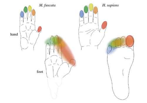 Les Hommes (H. sapiens) comme les macaques japonais (M. fuscata) ont cinq doigts et cinq orteils physiquement indépendants les uns des autres. Chaque doigt de la main a sa propre représentation dans le cortex sensorimoteur primaire des deux primates. Elles sont identiques entre les deux espèces (voir le code couleur). Au niveau des orteils, les couleurs sont mélangées chez le macaque, car il n'existe qu'une seule représentation somatotopique des doigts de pieds. Chez l'Homme, le gros orteil est indépendant des quatre autres orteils. © Riken