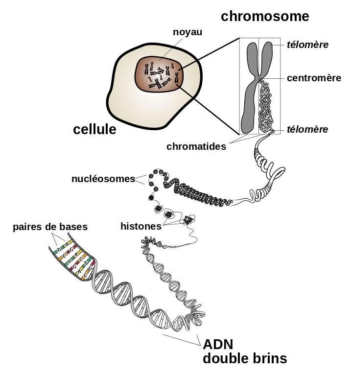Structure et localisation d'un chromosome d'eucaryote (dont les mammifères font partie). © NIH, DP