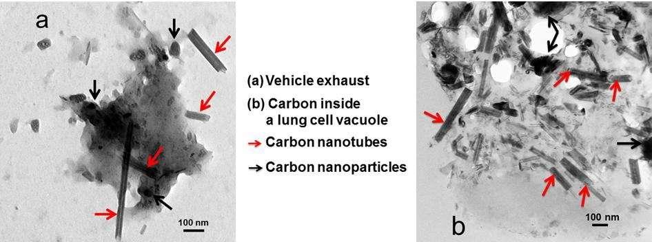 Les nanotubes de carbone (indiqués par des flèches rouges) présents dans des gaz d'échappement (à gauche) peuvent se retrouver dans des cellules de poumons (à droite). © Kolosnjaj-Tabi et al., EBioMedicine, 2015, CC by-nc-nd 4.0