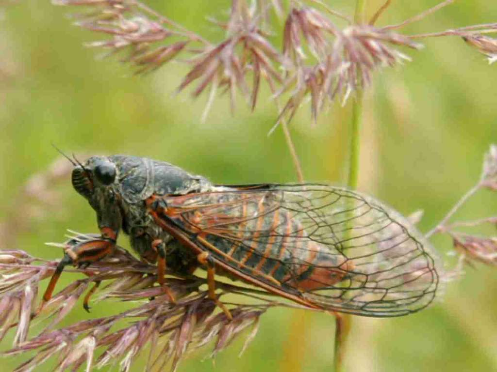 Cicadetta montana - Petit cigale de montagne