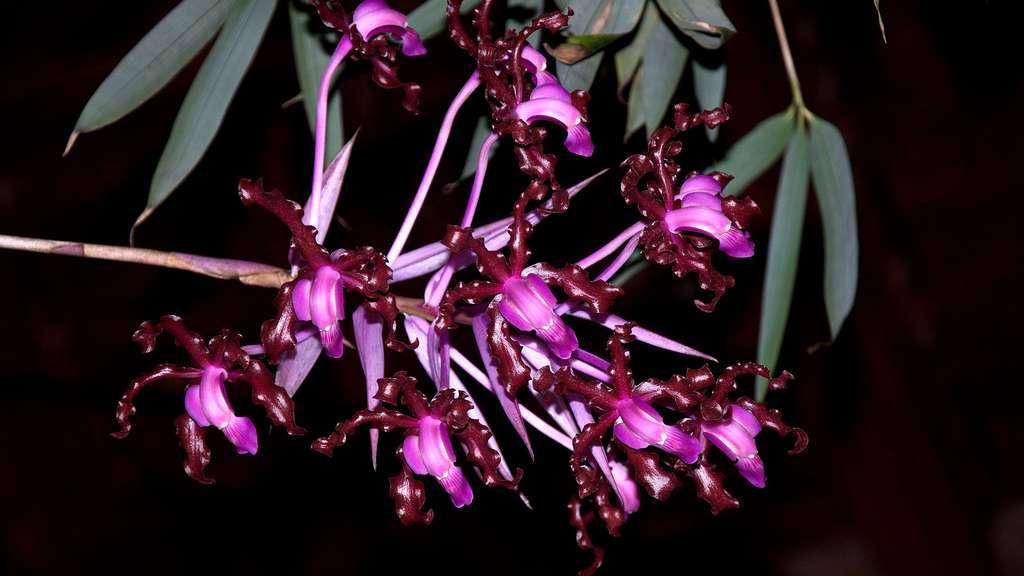 L'orchidée Schomburgkia splendida
