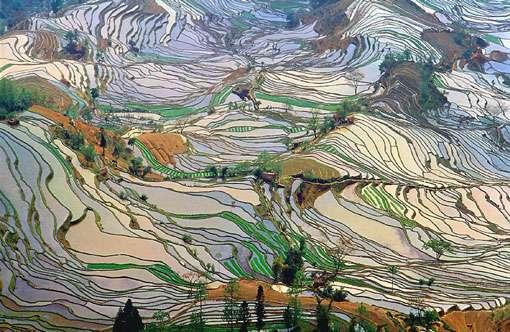 Le maïs (Amérique), le blé (Proche-Orient) et le riz (Asie) forment 86 % de la production totale de céréales aujourd'hui dans le monde. Ils ont été domestiqués dans des climats très différents (à l'image, rizières en terrasse Yunnan Chine). © Jialiang Gao, CC by sa 3.0