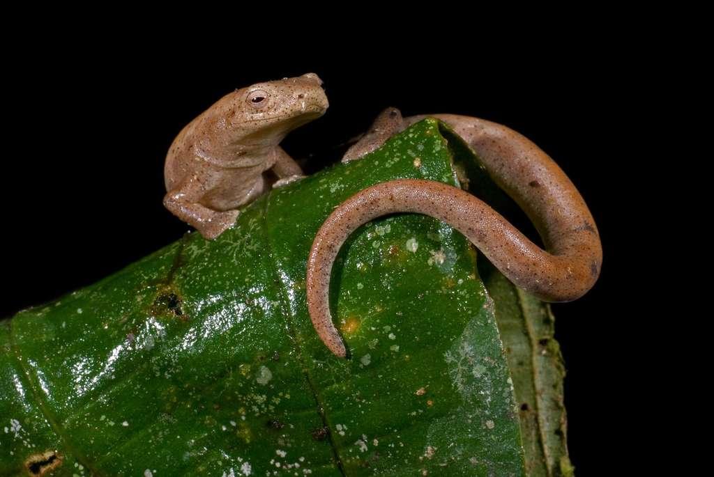 La salamandre sans poumon