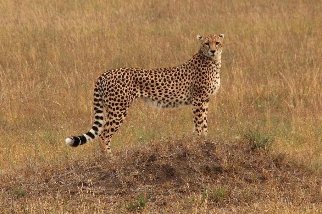 Le guépard est considéré comme l'animal terrestre le plus rapide du monde, avec une vitesse de pointe pouvant atteindre 110 km/h. © thierry tete, CC by-nc-sa 2.0
