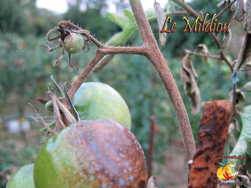 Le rendement des plantes atteintes par le mildiou est diminué. © Tomodori