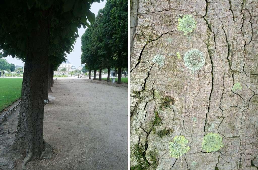 Lichens des marronniers de l'allée de l'Observatoire du jardin du Luxembourg à Paris sur lesquels William Nylander a étudié la diversité lichénique en 1866. © Yannick Agnan - Tous droits réservés