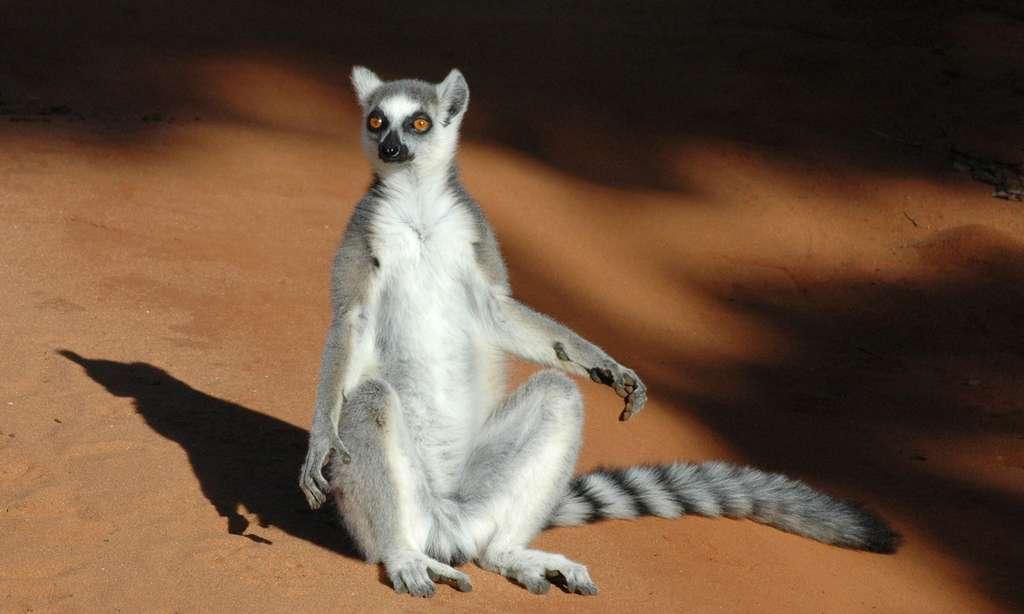Lémur catta en plein bain de soleil