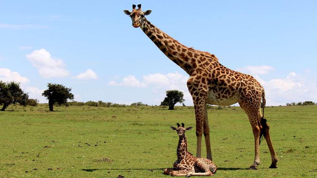 Girafe avec son petit, le girafon