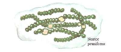 Cyanobactéries Nostoc. © DR