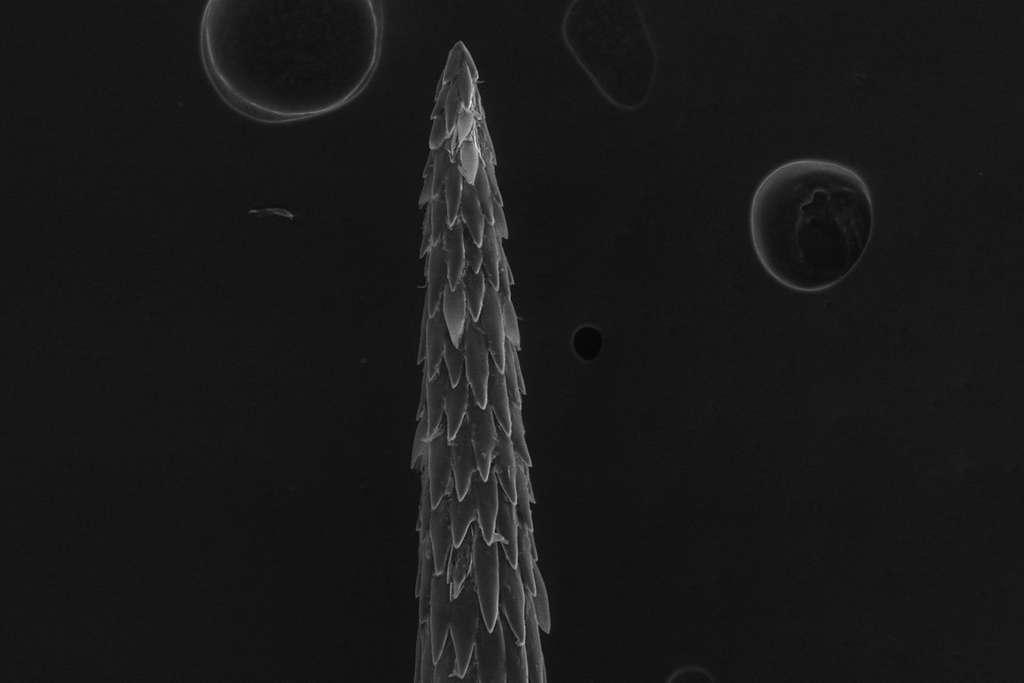 Les micro-aiguilles de l'épine de Cylindropuntia fulgida tranchent la chair et s'accrochent dans les fibres musculaires. © Stephanie Crofts