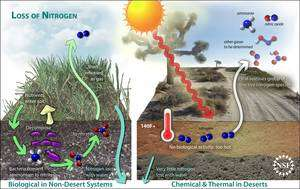 Cliquer pour agrandir. Les deux mécanismes de perte de l'azote du sol : biologique (à gauche) et abiotique (à droite). Le premier fait intervenir des microorganismes qui transforment l'ammoniaque (ion ammonium, NH4+)en azote gazeux (diazote, nitrogen en anglais). Le second fait intervenir les fortes chaleurs, qui rendent les microorganismes inactifs, pour transformer l'azote en composés volatiles (oxydes d'azote et autres). © Zina Deretsky/National Science Foundation
