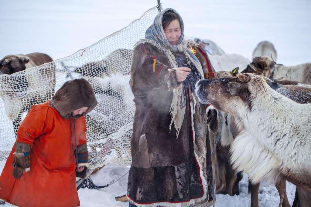 Les Nénètses ont domestiqué le renne en Sibérie et ce notamment grâce à l'aide de leurs chiens. © evgenii, Adobe Stock