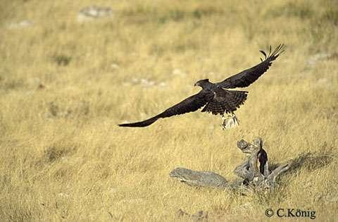 Polemaetus bellicosus, ou aigle martial, en Namibie. © Reproduction et utilisation interdites