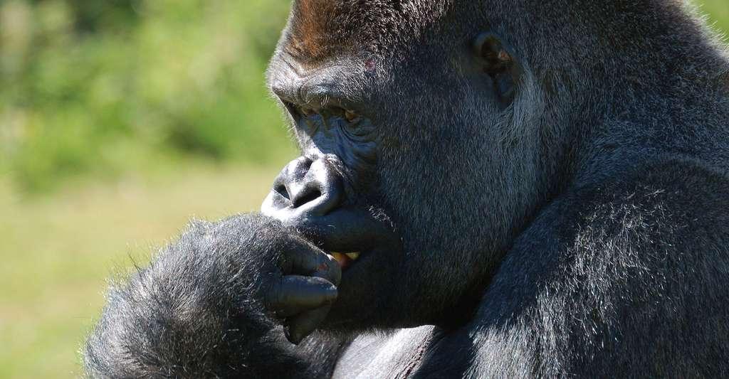 La culture est-elle une question de cerveau ? Ici, un gorille. © Dozyg, DP