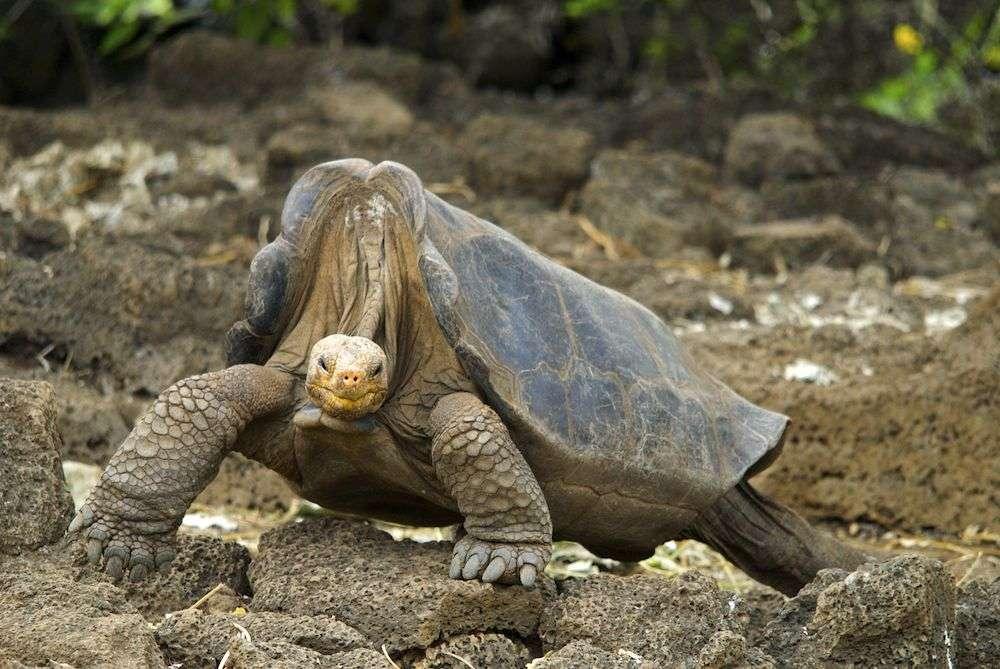 Malgré son apparence massive, George la tortue géante ne pesait que 90 kg. Sa carapace mesurait 102 cm de long. Les analyses génétiques visant à retrouver d'autres membres de son espèce étaient déjà en cours au moment de sa mort. © Chelonian Research Foudation