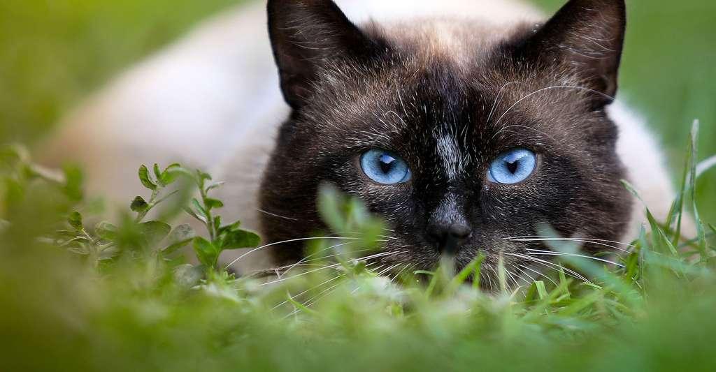 Gros plan sur les yeux fascinants du chat Siamois. © Klimkin, Pixabay, DP