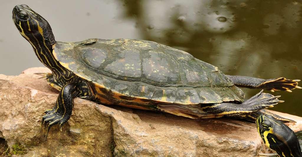La tortue de Floride est, comme Caulerpa taxifolia, une espèce invasive introduite. © Nilfanion, CC BY-SA 3.0