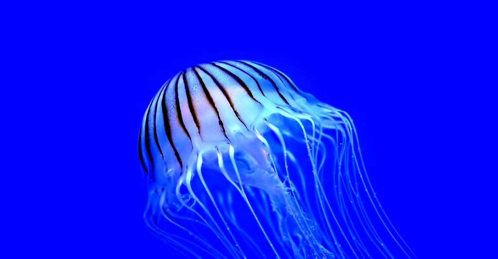 Il existe différentes espèces de méduses. © Skeeze, DP