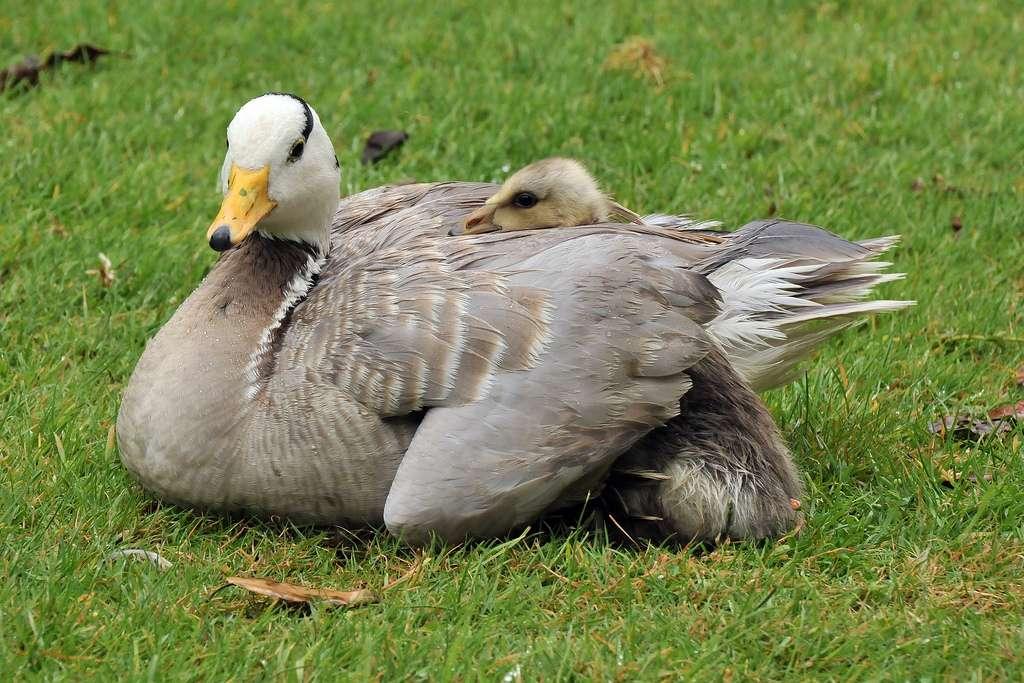 Oie à tête barrée et son oison. © Joachim S. Müller, Flickr, cc by nc sa 2.0